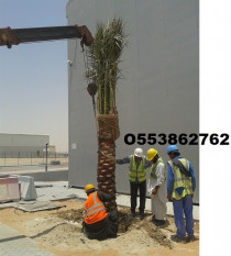 DATE PALM TREES DELIVERY AND PLANTING - O553862762