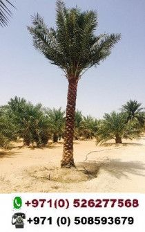 Date palm tree sale in Dubai 0526277568