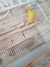 CRAZY SINGING IRANIAN CANARY GOLDEN COLOR WITH BLACK AND RED FEMALE