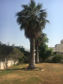 Two Beautiful Palm Trees for sale (20 YEARS OLD) in Dubai