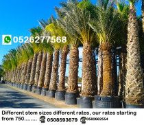 Date palm trees for sale in Dubai 0582662554