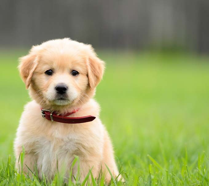Puppies for Sale in Dubai